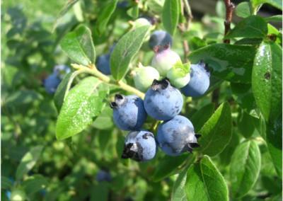 Airelle à feuilles étroites, Bleuet
