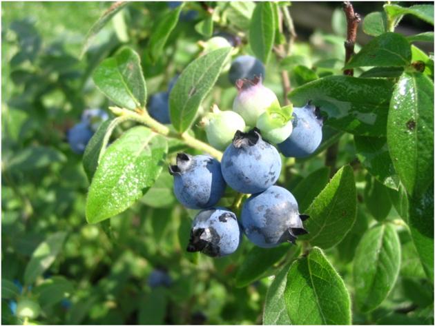 Airelle à feuilles étroites-Bleuet