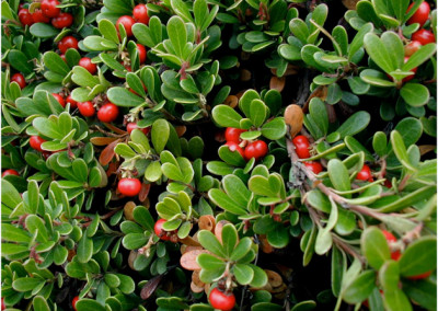 Arctostaphyle raisin d'ours