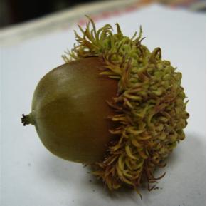 Noix du chêne à gros fruits