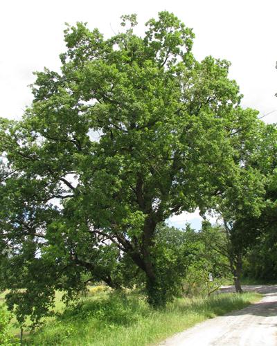 Chêne blanc