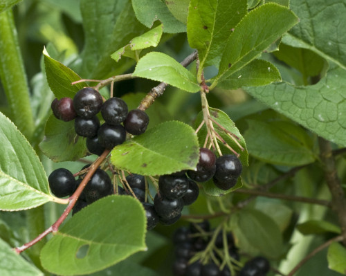 Aronia noir, Gueule noire