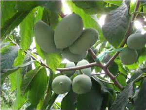 Asiminier trilobé (fruit très proche de la mangue)